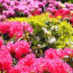 RHODO 2018 - Rhododendronschau in Westerstede